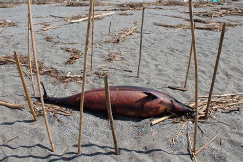 lamezia esemplare di delfino trovato morto in localit 224