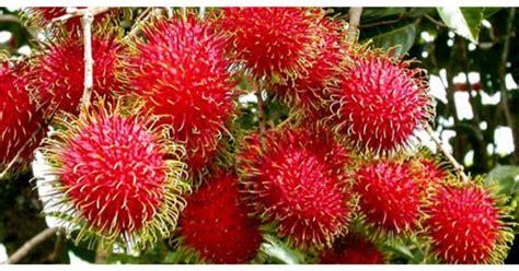 Benih Durian Udang Merah cita tani nursery benih rambutan gula batu