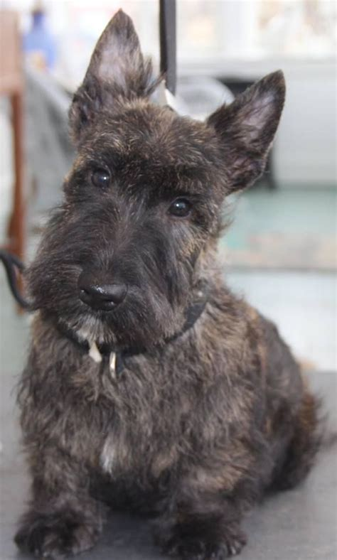brindle cairn haircut cute brindle scottie brindle scottish terrier