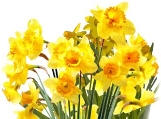 daffodils png transparent images png
