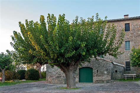 Murier Blanc Arbre by Le M 251 Rier L Arbre D Or Office De Tourisme Du Pi 233 Mont