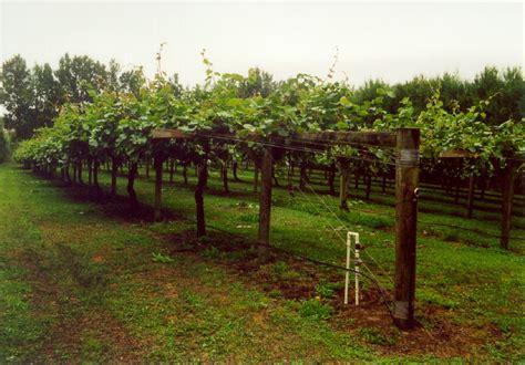 kiwi trellis design kiwi growing how to grow kiwi fruit