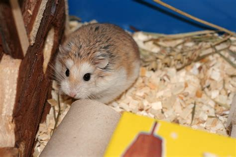 Hamster Roborovski Normal 1000 images about hamsters on
