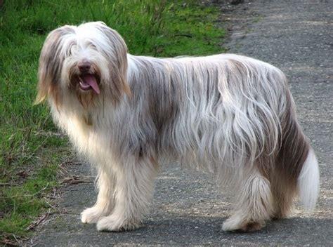 古代长须牧羊犬图片第8842张_古代长须牧羊犬图片 - 中国名犬网