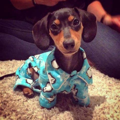 weenie puppies 972 best images about weenie dogs on weenie dogs dachshund
