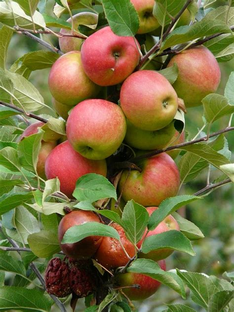 propagating fruit trees plant propagation a guide to propagating grafting apple