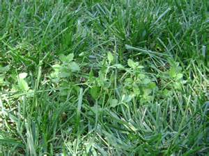 riley county extension blog lawn weeds