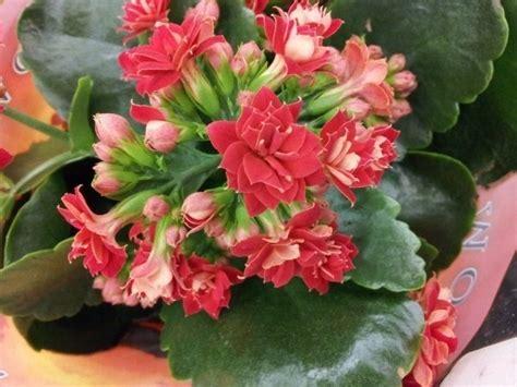 pianta grassa con fiore rosso vasi per piante grasse piante grasse vasi piante grasse
