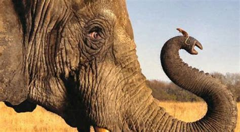 Mouse Elephant mice longer sperms than elephants here s why catchnews