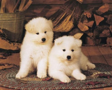 puppy s all wallpapers akita puppies hd wallpapers 2013