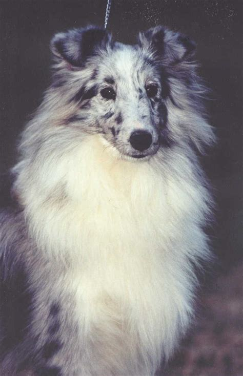 Might Adopt A Baby by 2021 Best Images About Sheltie Logan On