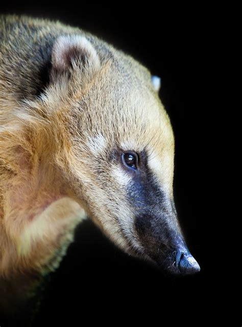 mexican raccoon animal facts encyclopedia