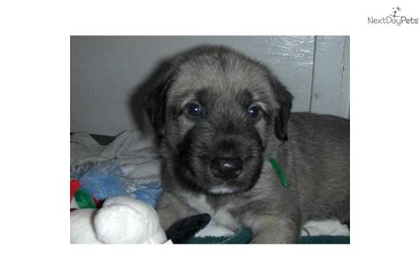 wolfhound puppies for sale near me beautiful wolfhound puppies wolfhound puppy for sale near houston