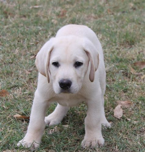 lab puppies for sale in ga akc white lab puppies for sale