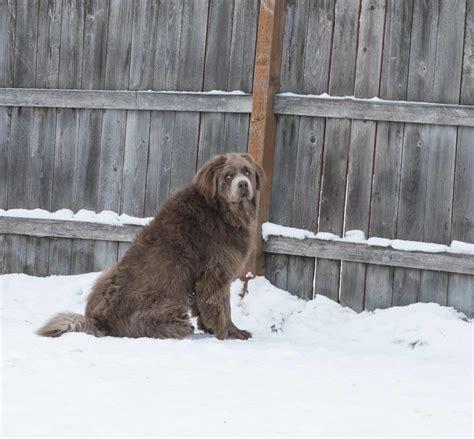 Breed Next Door newfoundland breed 187 information pictures more