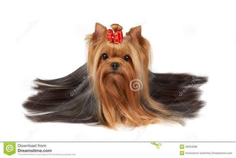yorkie white hair terrier with beautiful hair stock photo image 46304096