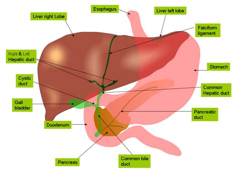 scientists grow human liver tissue to be used for