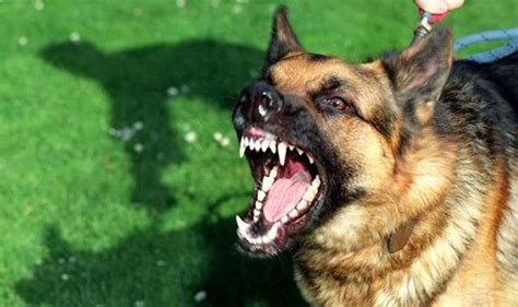 killer dogs killer owners 14 years in government crackdown on dangerous pets