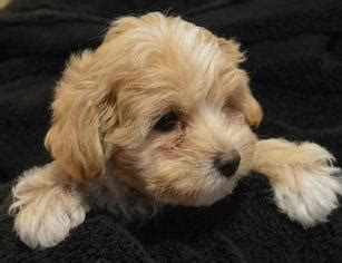 puppies for sale in shreveport la view ad maltipoo puppy for sale louisiana shreveport usa