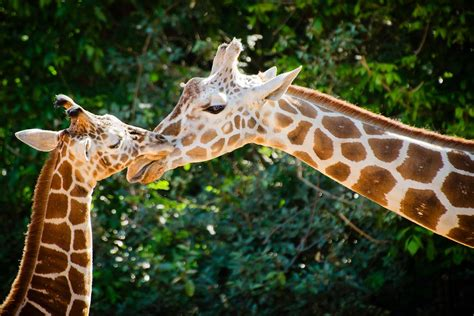 how can a live with pyometra where do giraffes live habitat and distribution