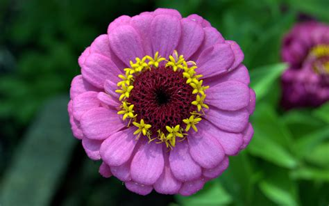 fiori zinnie zinnia wallpaper