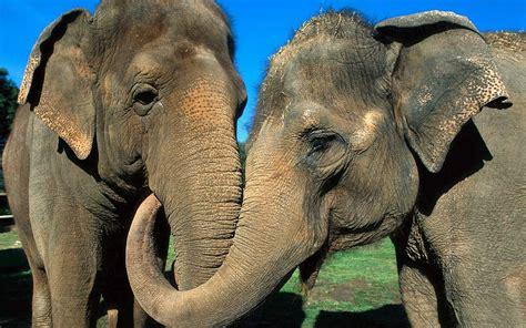 wallpaper   cuddling elephants hd animals wallpapers