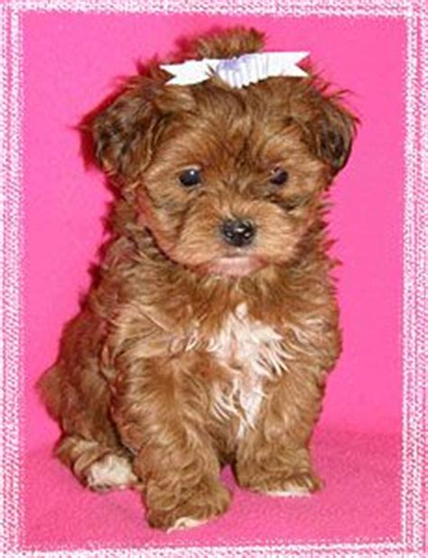 yorkie poo puppy names everyone needs a yorkie poo like my obi for the home adorable