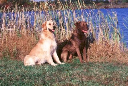 chesapeake bay golden retriever why is the chesapeake bay retriever different canis lupus hominis