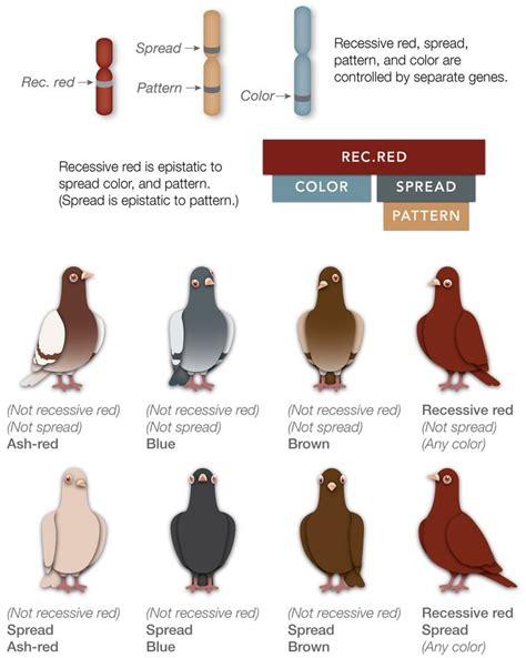 color genetics 1000 images about pigeon color genetics on