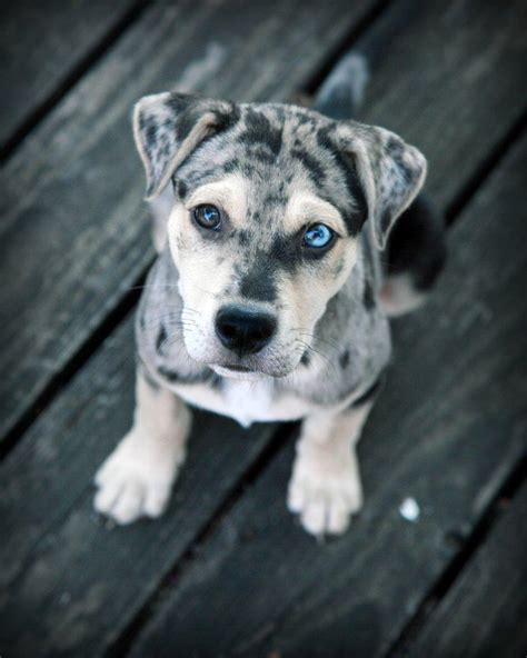 puppy blues catahoula leopard blue heeler mix breed breeds picture