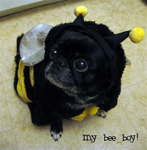 pug bee sting 35 best ideas about pugs do the funniest things on gnome costume a bunny