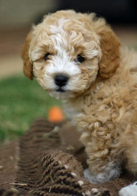 poodle mix puppies bailey the poodle mix puppies daily puppy breeds picture