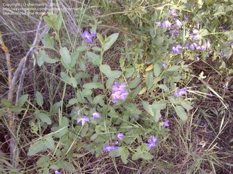 Plant Identification Small Bush With Little Purple Purple Garden Flowers Identification