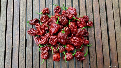 Original Candle Light Pepper 17 best images about pepper 2015 season on white flowers madagascar and big black