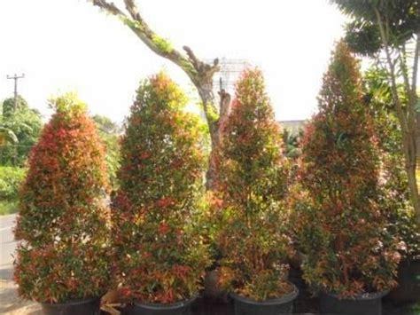 Bonsai Pohon Pucuk Merah jual pohon pucuk merah