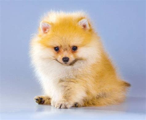 pomeranian puppy names pomeranian names unique names for your pom