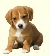 dorgi puppies for sale dorgi mix between dachshund and corgi i want this and the corgador corgi lab
