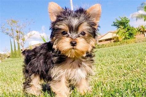 kleine münsterländer welpen suchen neues zuhause unsere kleine terrier welpen suchen ein tolles