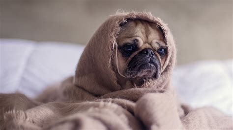 funny dog puppy wrapped  blanket  wallpaper hd