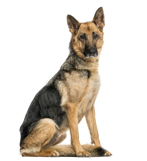 Royal Canin Puppy 1556 by German Shepherd Sitting Looking At The