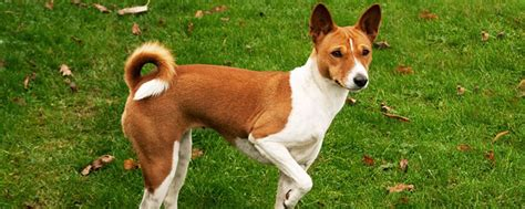 characteristics of dogs basenji characteristics traits annual estrus
