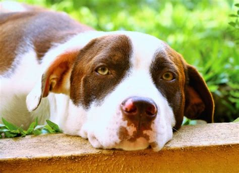 enlarged spleen in dogs enlarged spleen enlarged spleen treatments for dogs petmd