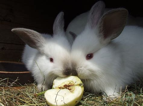 can eat apple can rabbits eat apples how about apple seeds