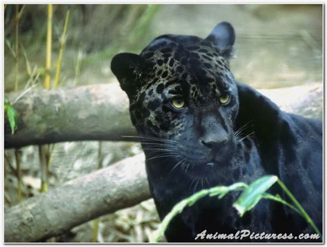 black jaguar hd wallpaper download black jaguar wallpapers hd download