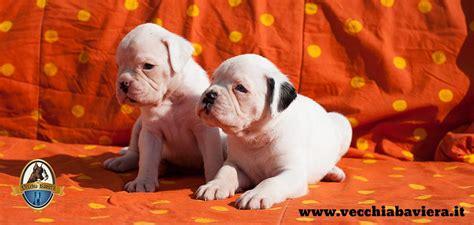 alimentazione cucciolo boxer cuccioli di boxer bianchi allevamento boxer della