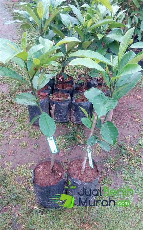 Tanaman Buah Durian Sitokong 60cm Limited bibit cempedak 70 cm jualbenihmurah