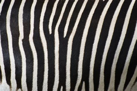 zebra pattern texture free stock photos rgbstock free stock images zebra