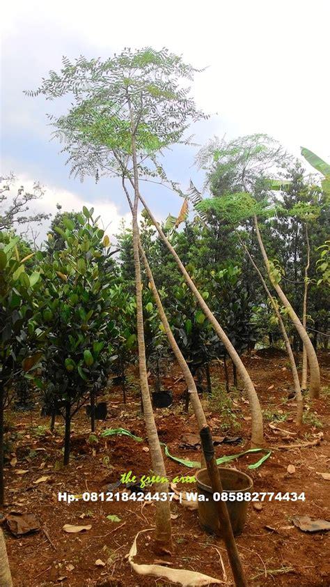 tukang pohon moringga jual pohon kelor afrika harga