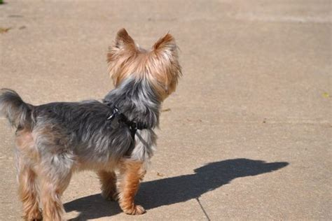 yorkie hair or fur 50 damn yorkie haircuts for your puppy hairstylec