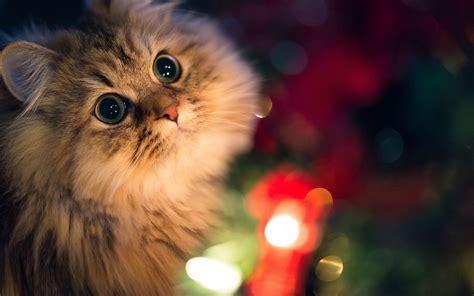 cat wallpaper imgur persijska macka zivotinje slike za desktop i pozadinu
